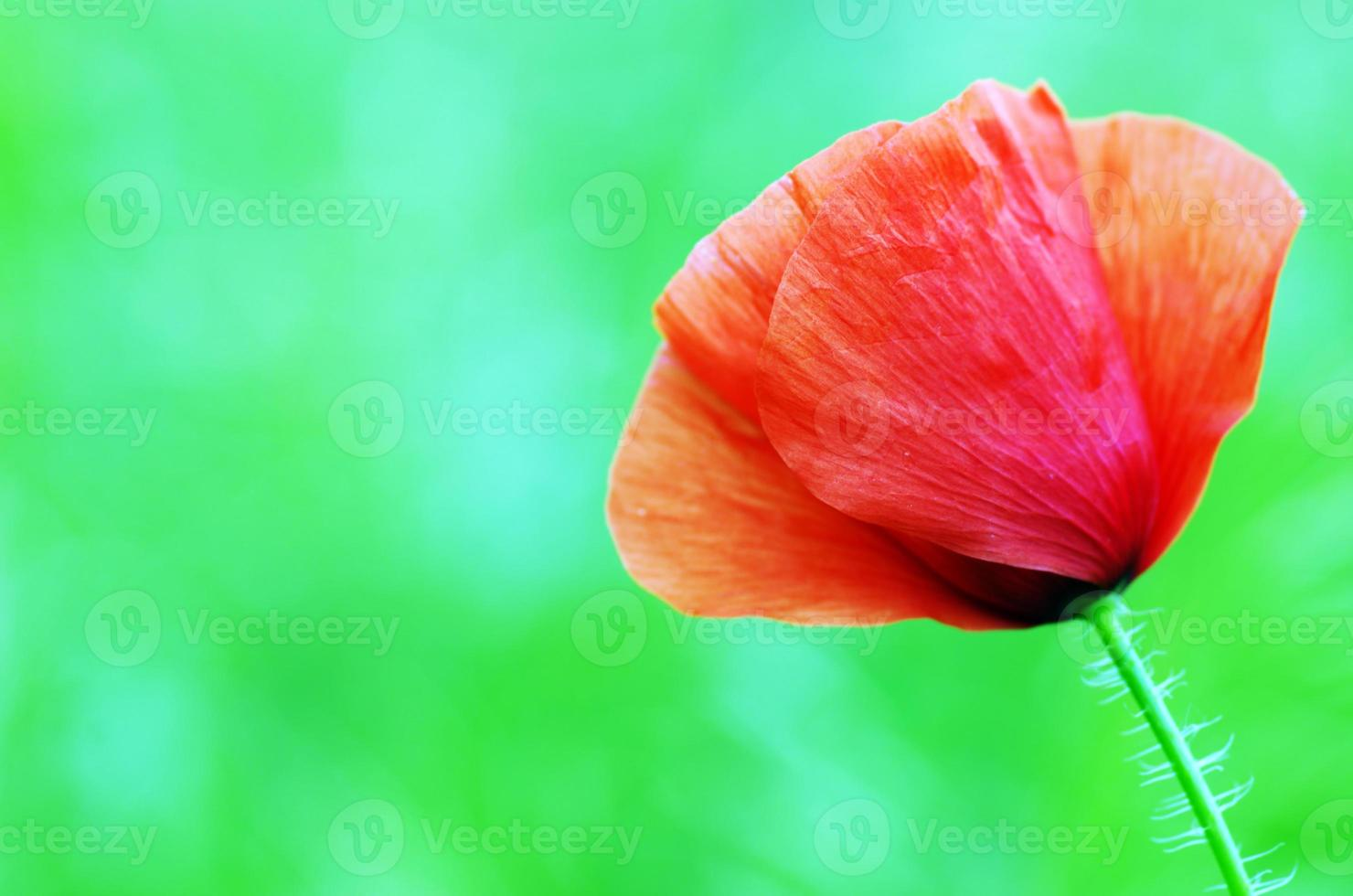 Red poppies blooming in the wild meadow photo