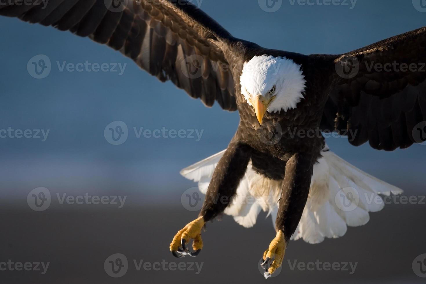 garras de águila calva foto