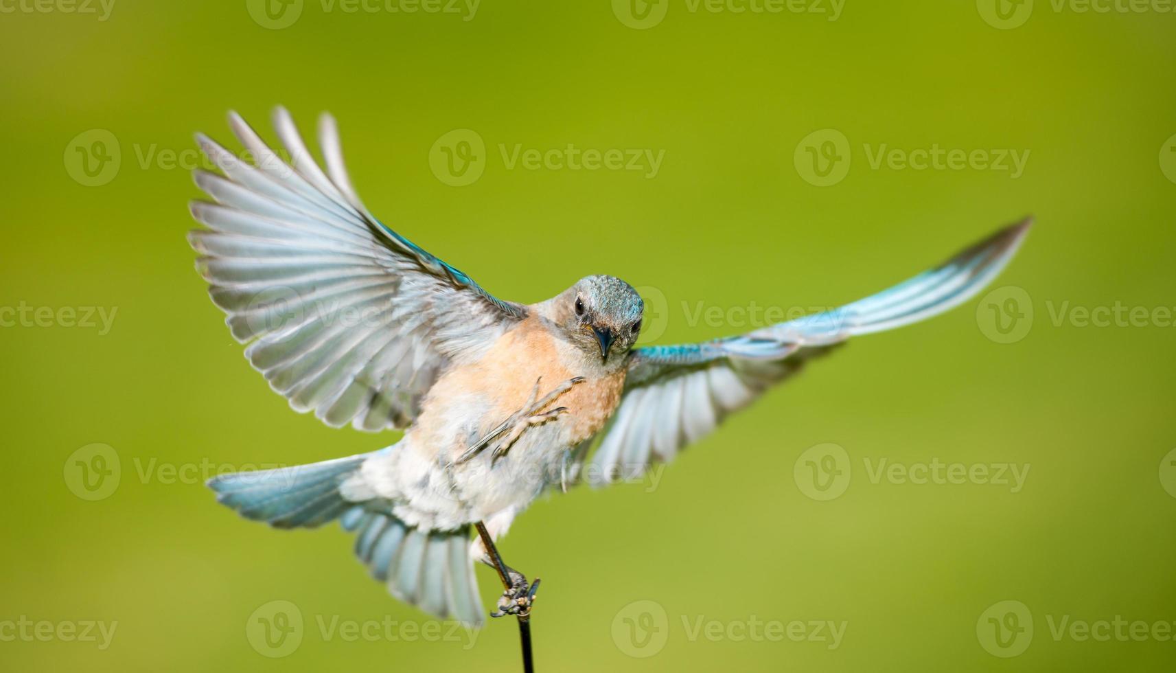 bluebird fêmea ocidental foto