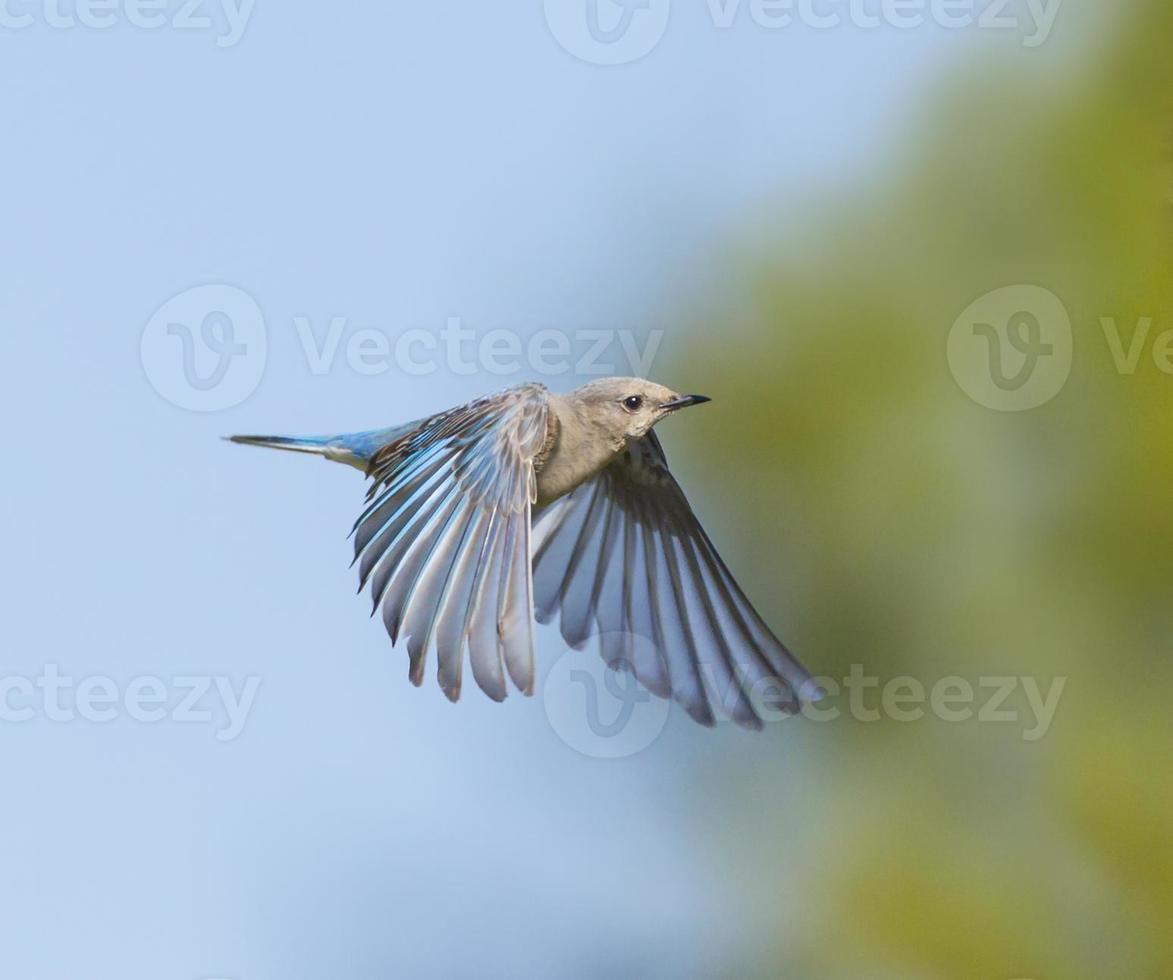 Female Bluebird Braking photo