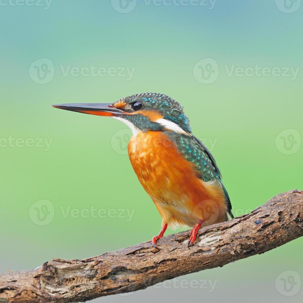 female Common Kingfisher photo
