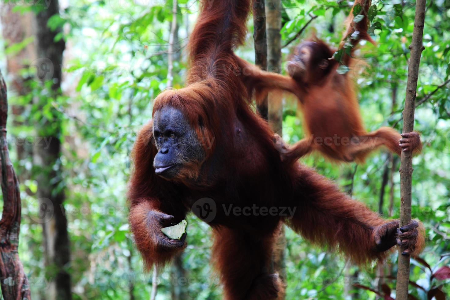 Female orangutan photo