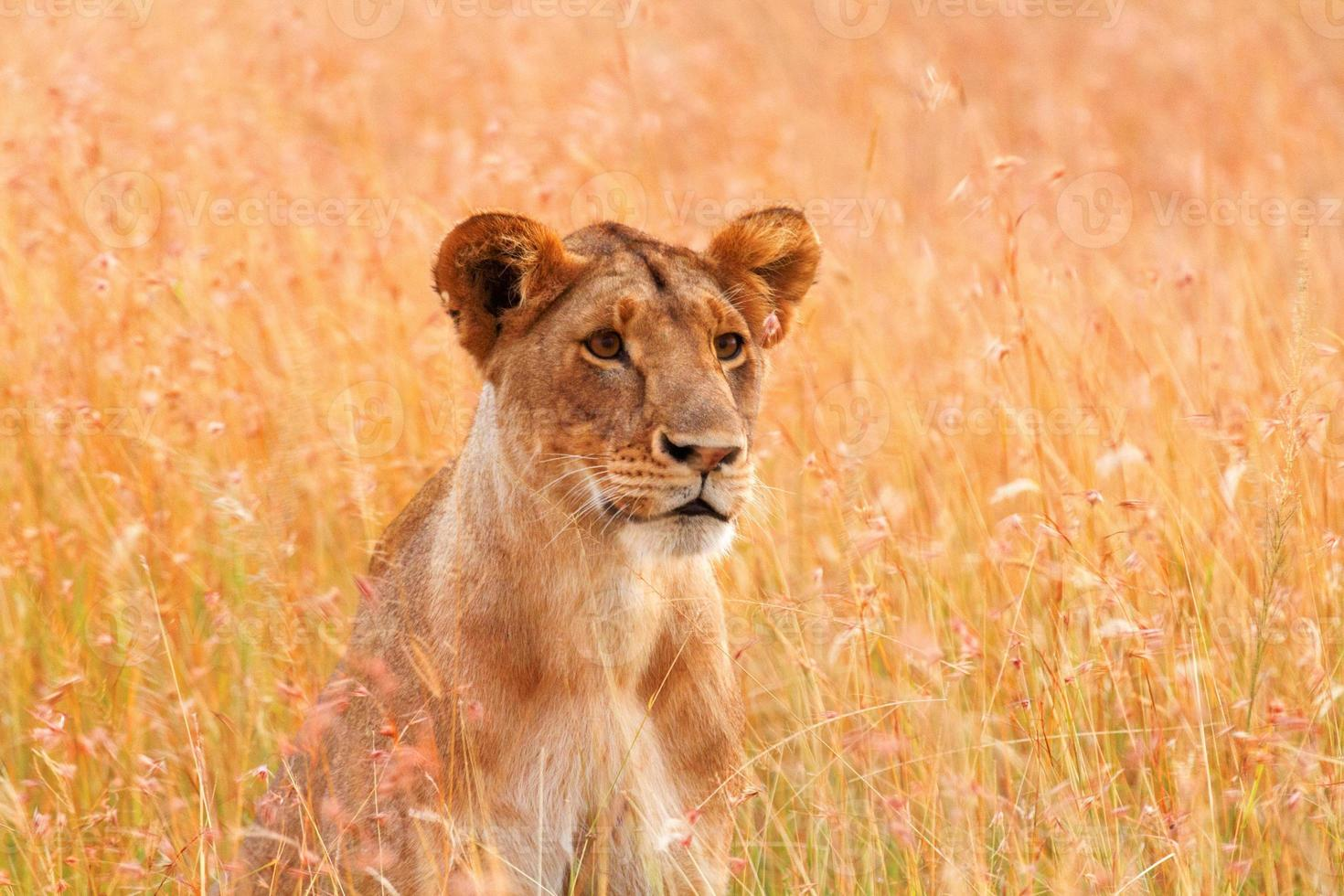 hembra león mirando a su alrededor foto