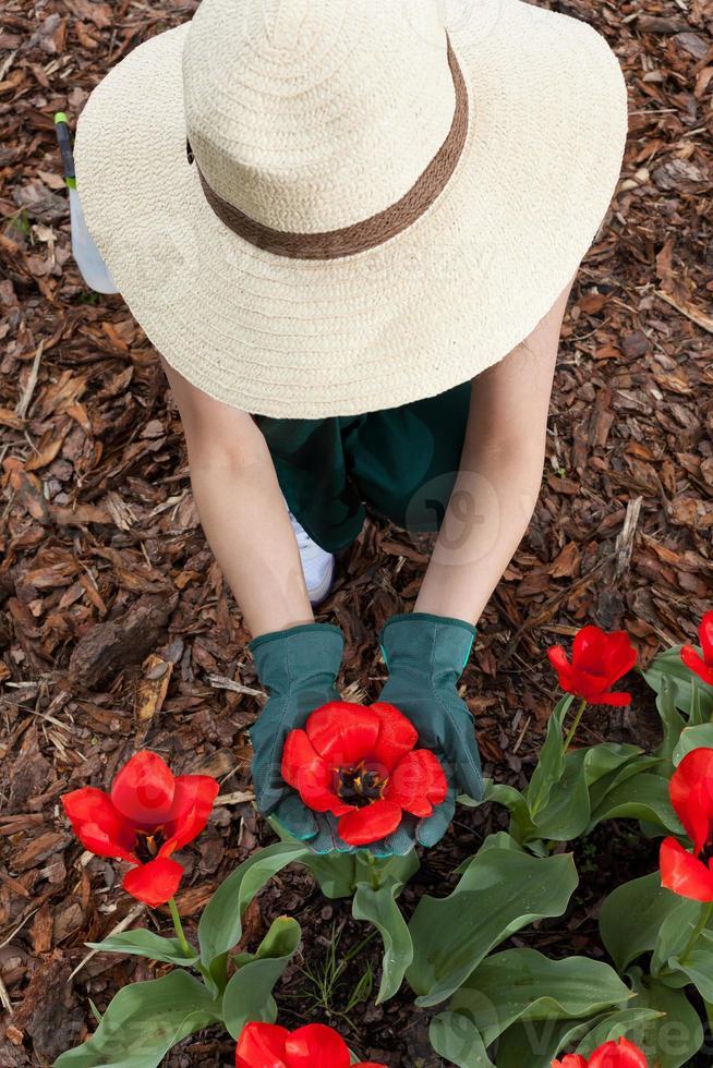 jardineiro feminino plantando flores vermelhas foto