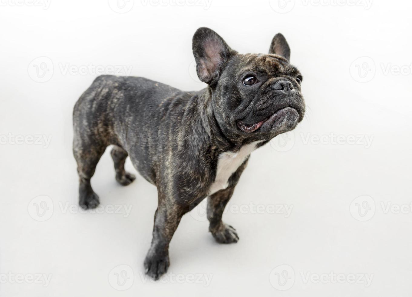 Funny female french bulldog dog photo