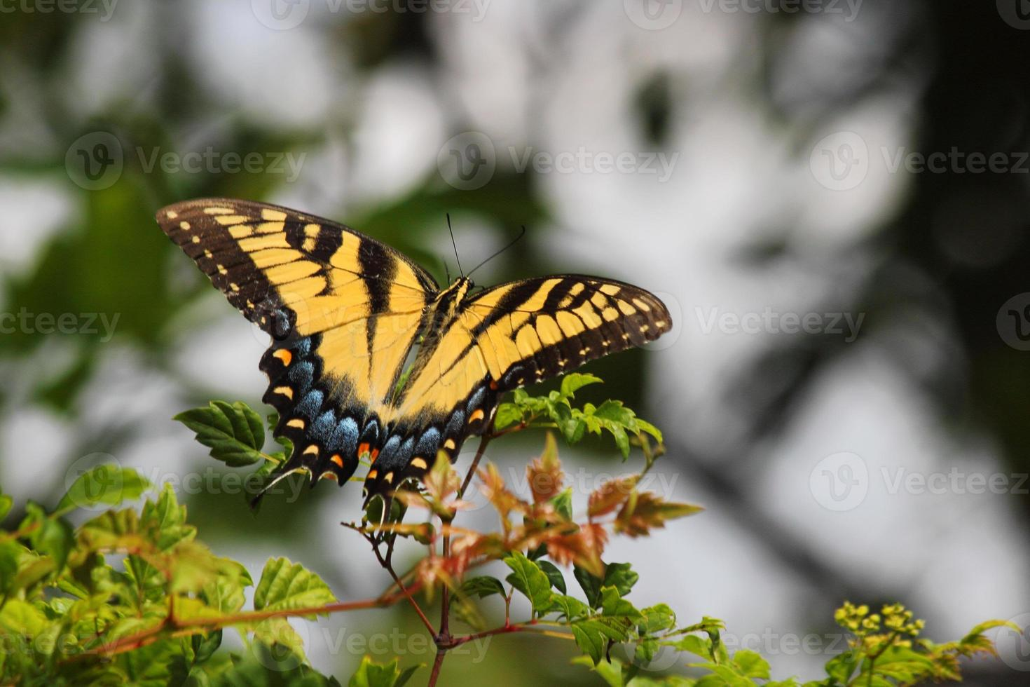 rabo de andorinha tigre oriental feminino (papilio glaucus) foto
