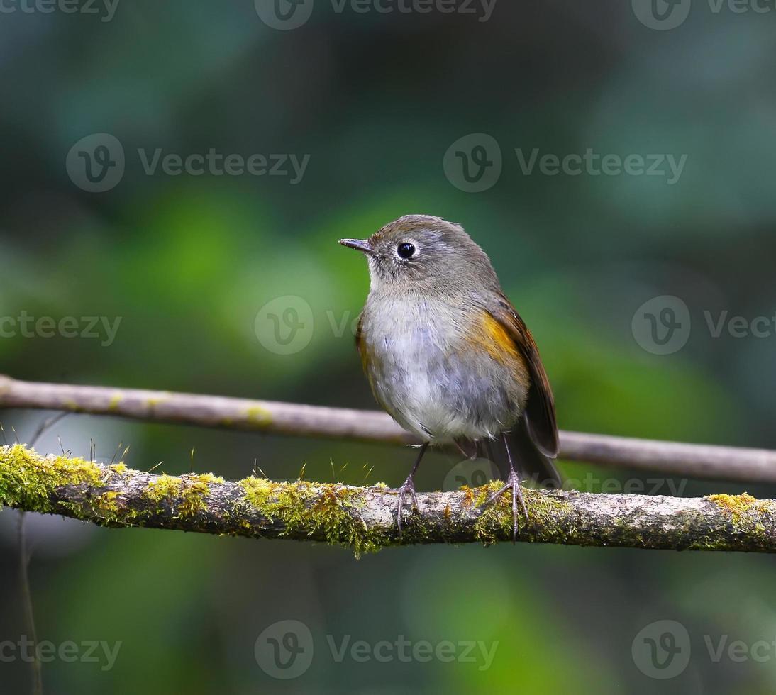 pássaro marrom, bluetail do Himalaia feminino (tarsiger rufilatus) foto