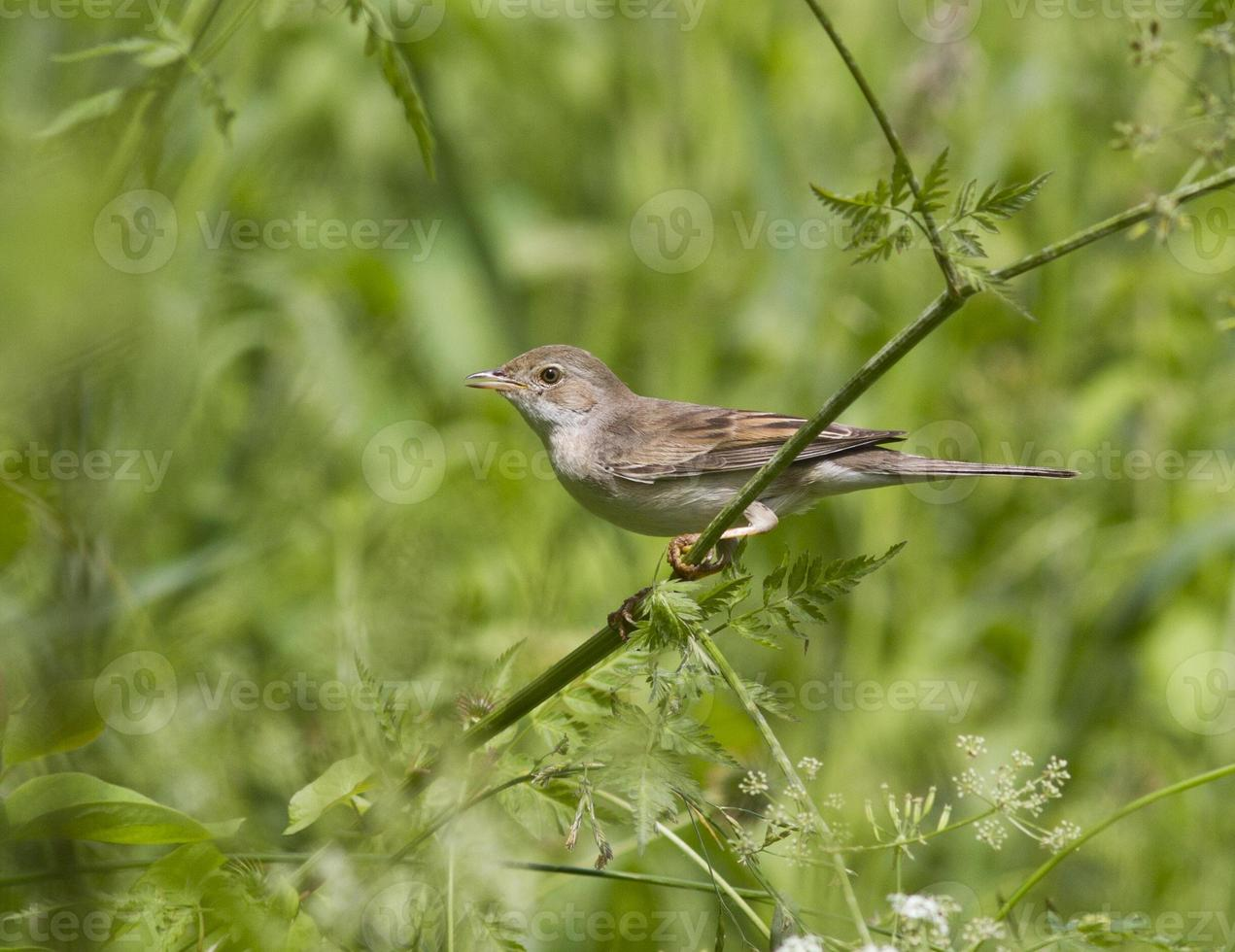 Female gray warbler sitting on a branch. photo