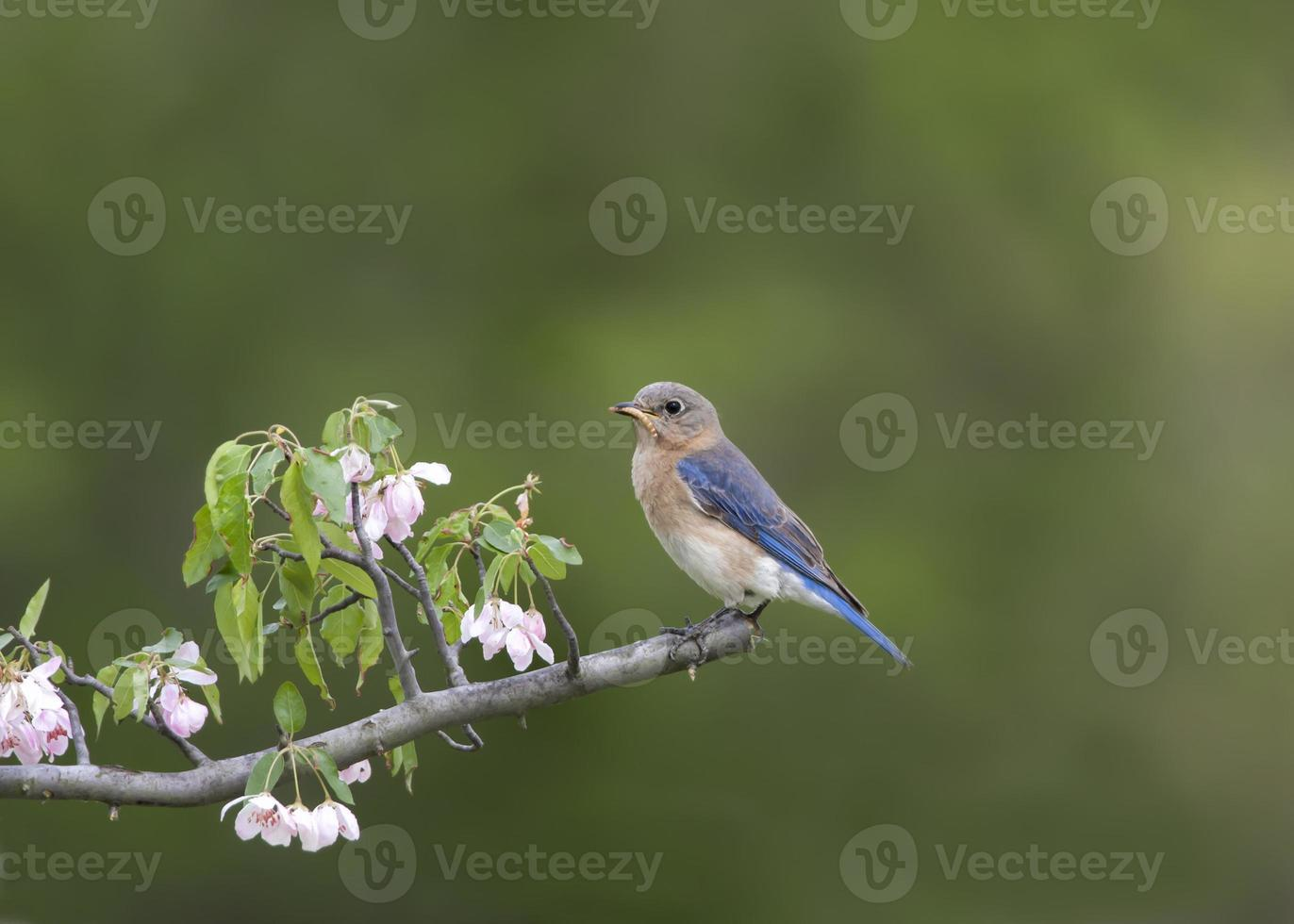 Female Eastern bluebird perched with pink flowers photo