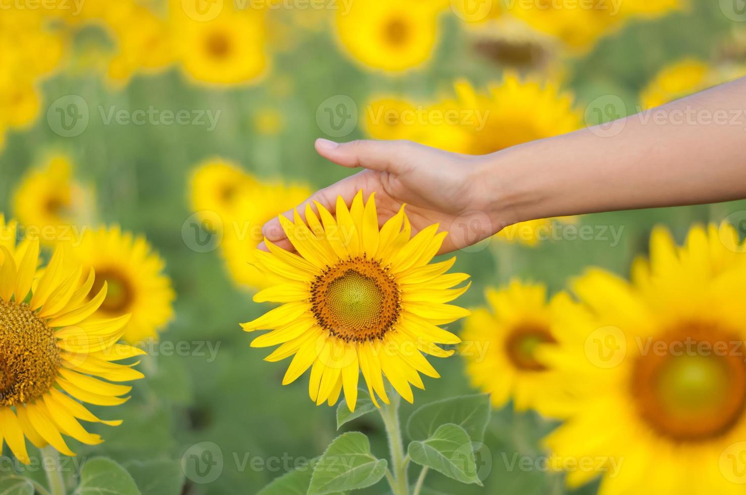 Yellow sunflower and female hands photo