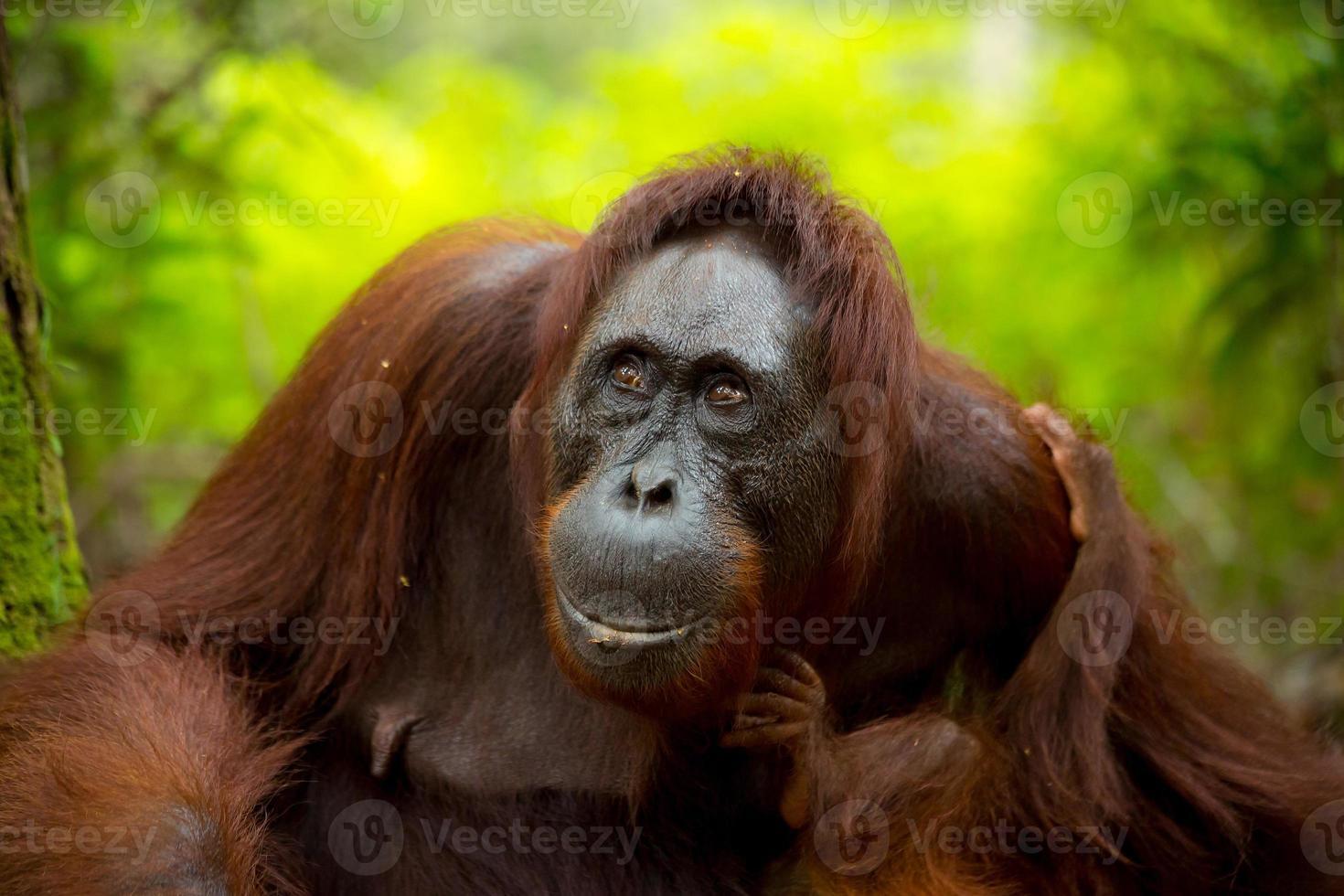 Orangután hembra en borneo. foto