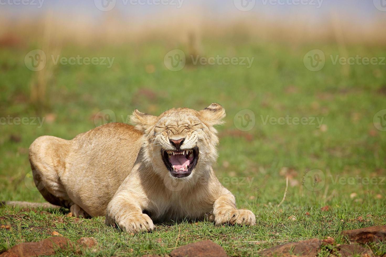 joven león macho foto