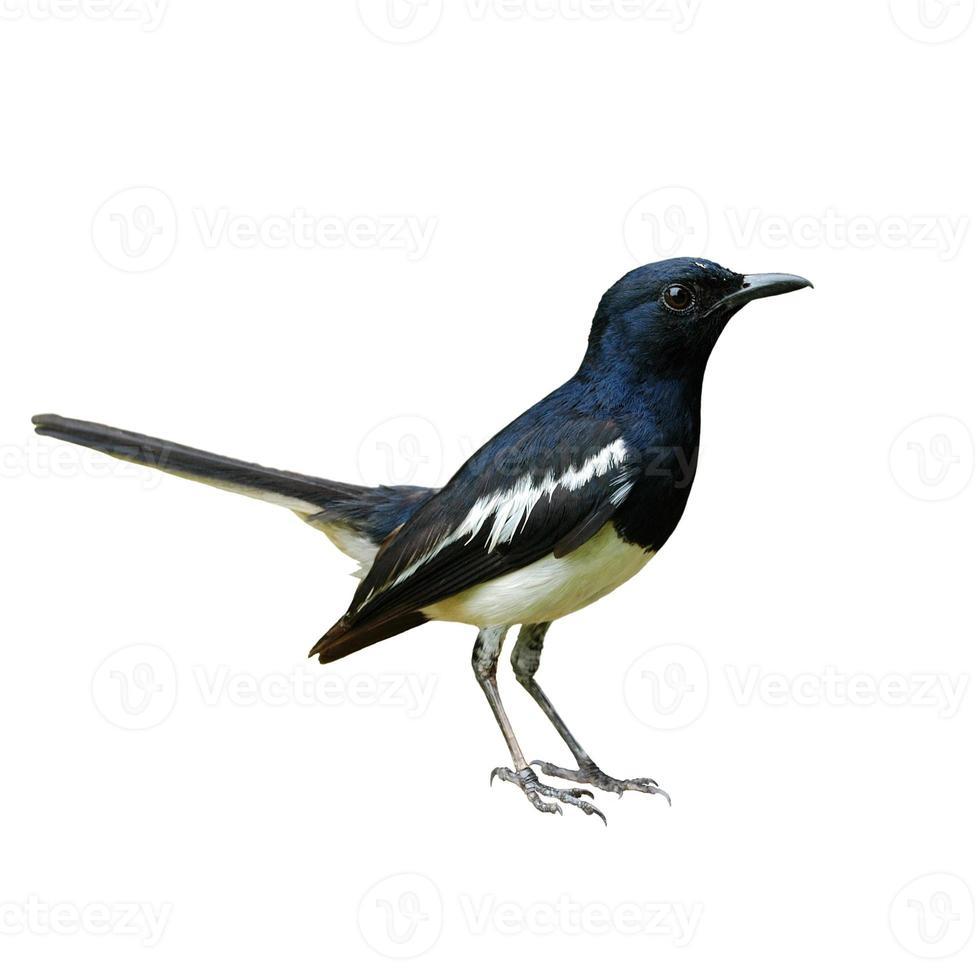 Oriental Magpie-Robin photo