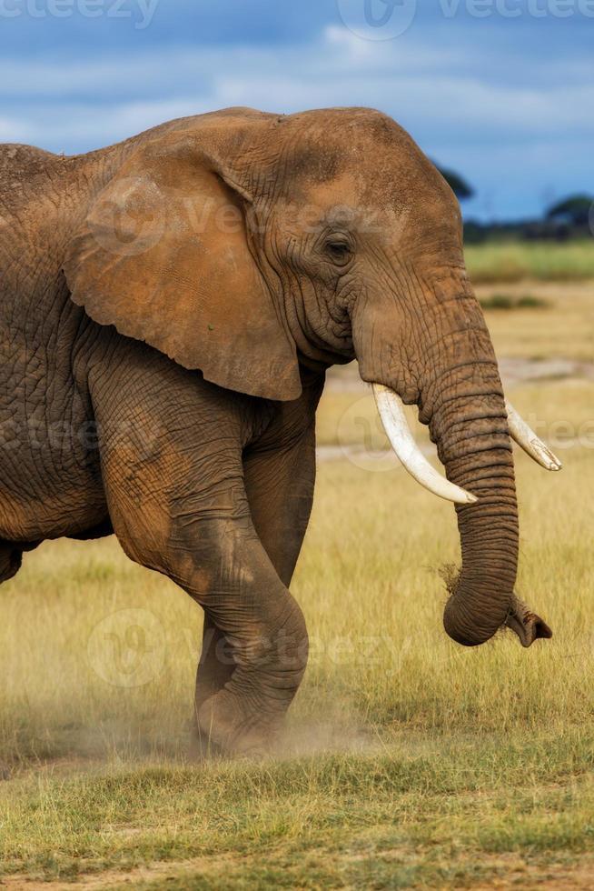 Primer plano de la parte frontal de un elefante africano comiendo hierba foto