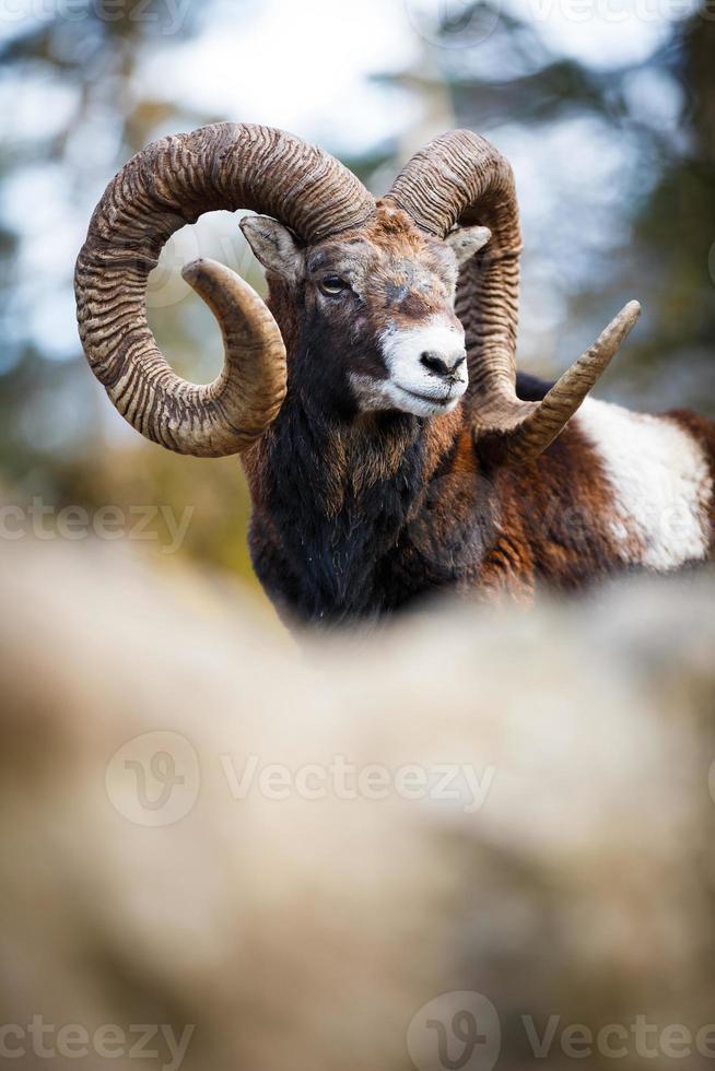 el muflón (ovis orientalis) foto