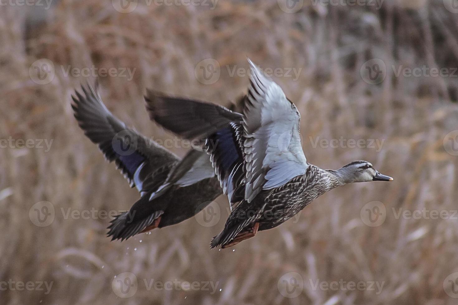 Spot Billed Duck in Flight photo