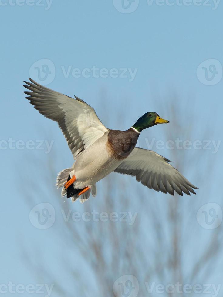 Flying Drake Mallard photo