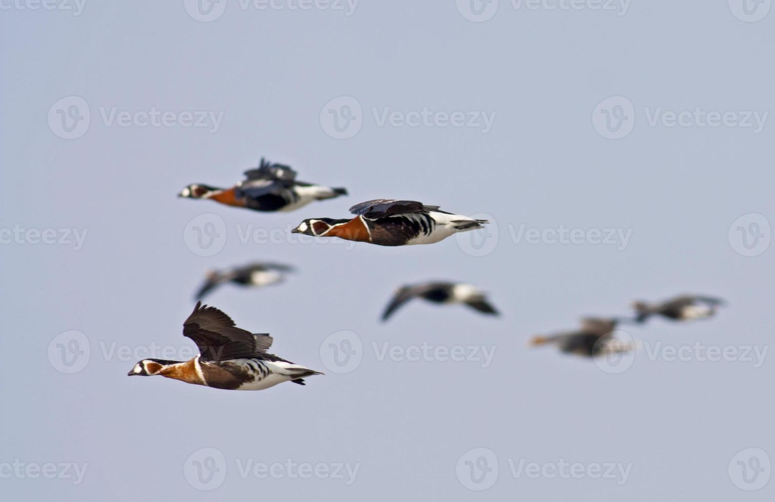 Red-breasted Geese photo