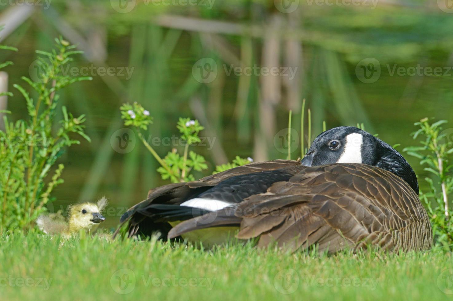 Canada Goose and baby lie along water. photo