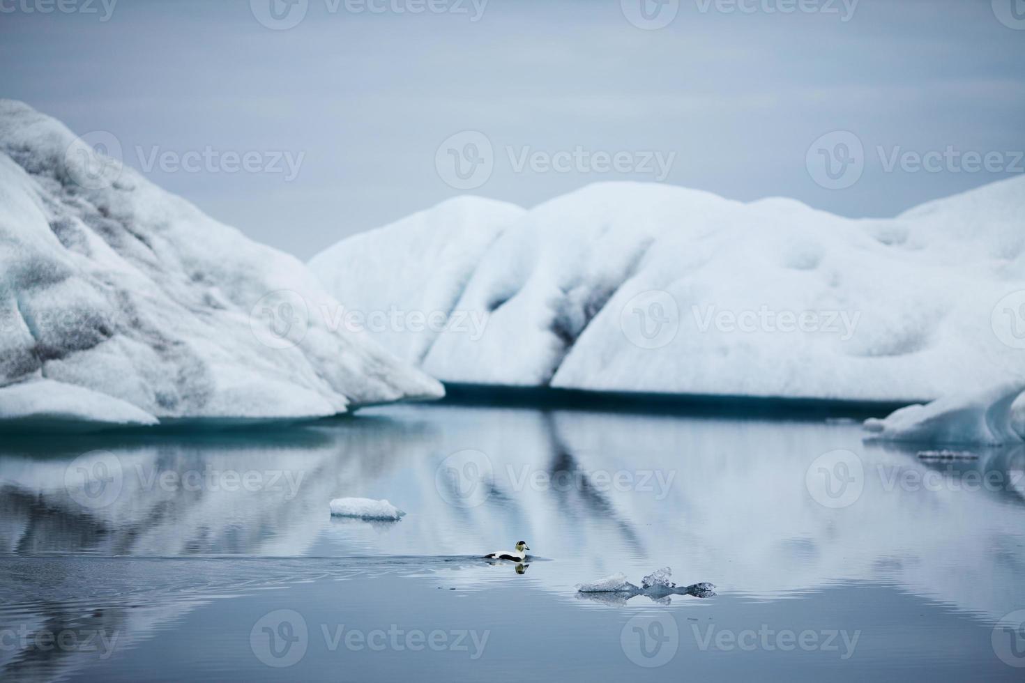 pato en icebergs nevados - lago glaciar jokulsarlon, islandia foto