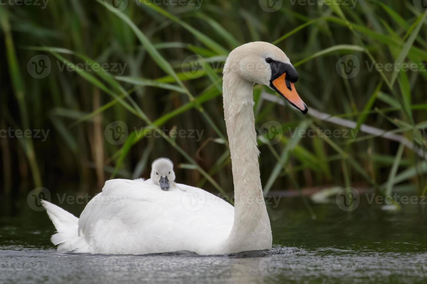 Mute Swan with cygnet photo