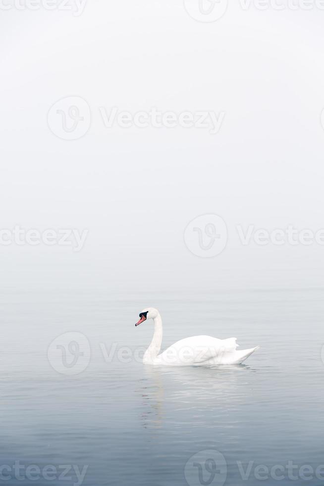 cisne blanco nadando en el mar foto