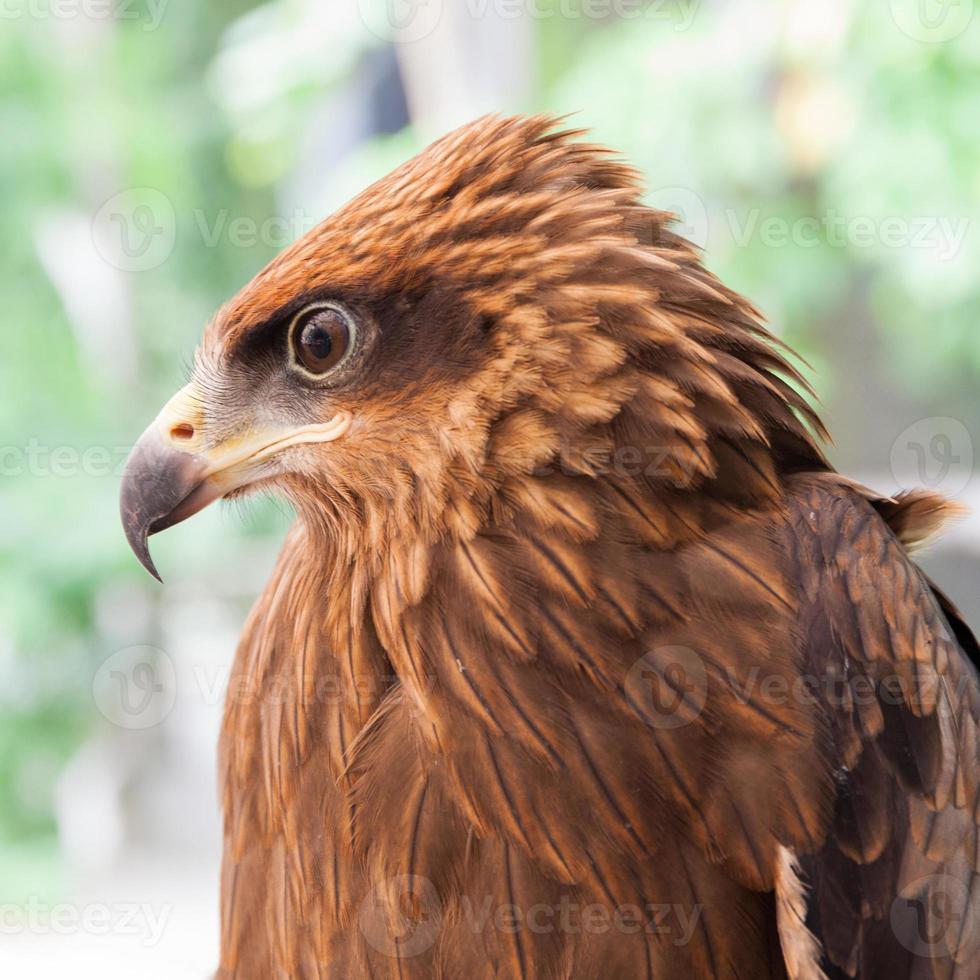halcón - depredador de pájaros foto