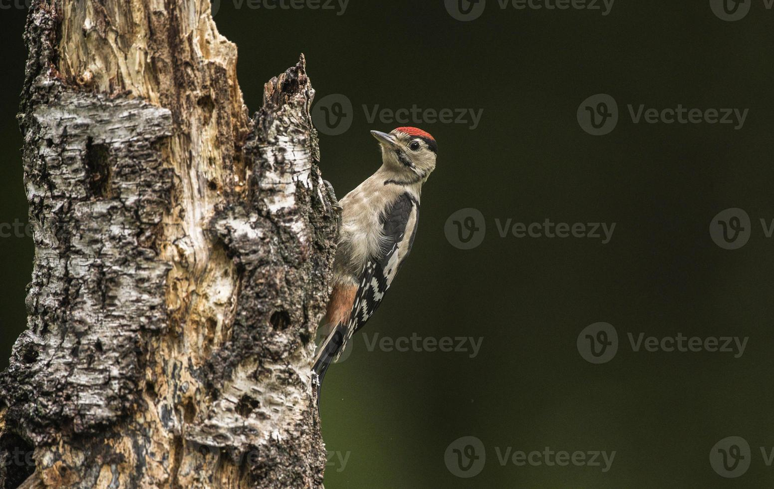Great spotted woodpecker,  juvenile photo