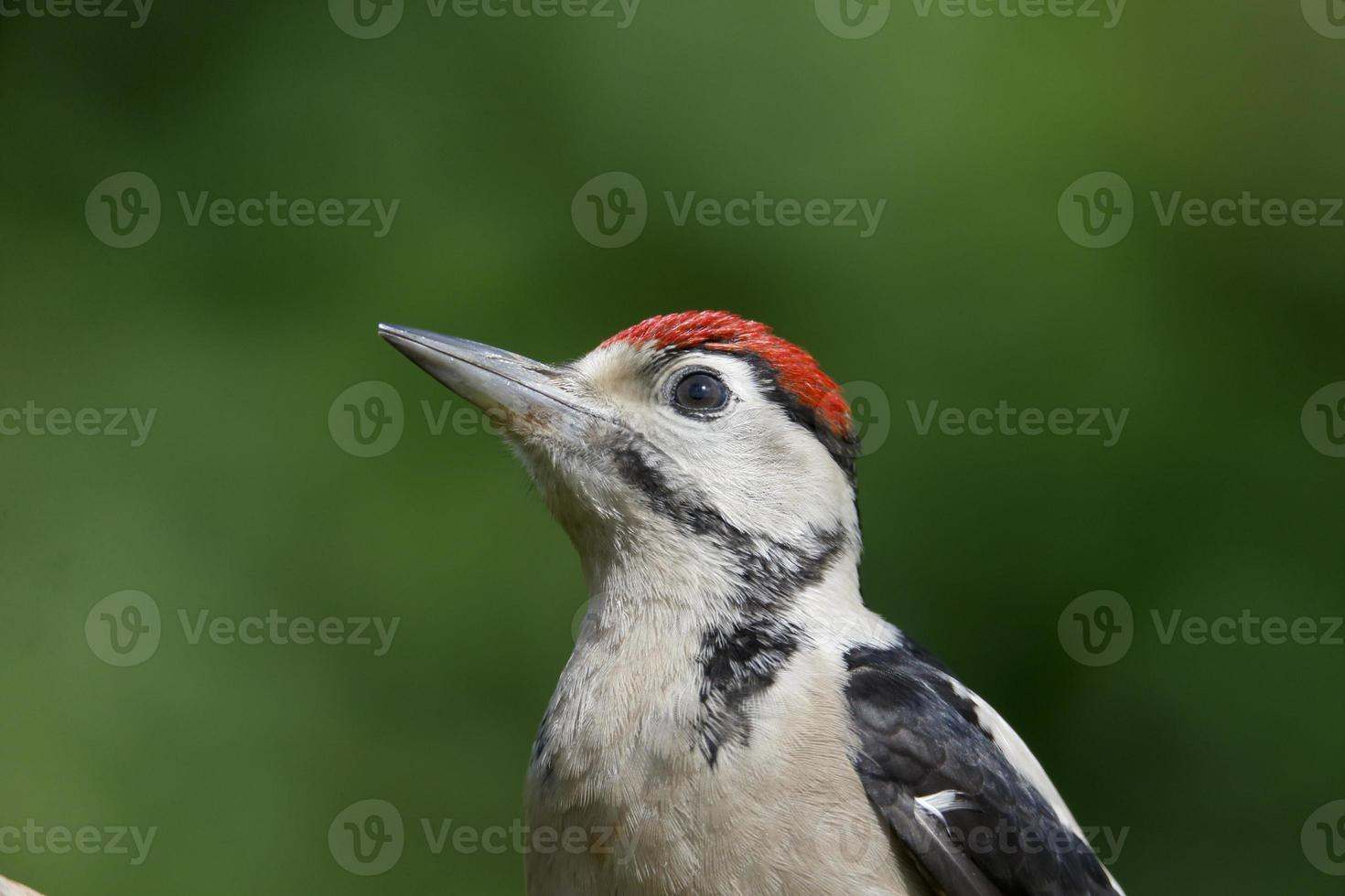 Great-spotted woodpecker, Dendrocopos major photo