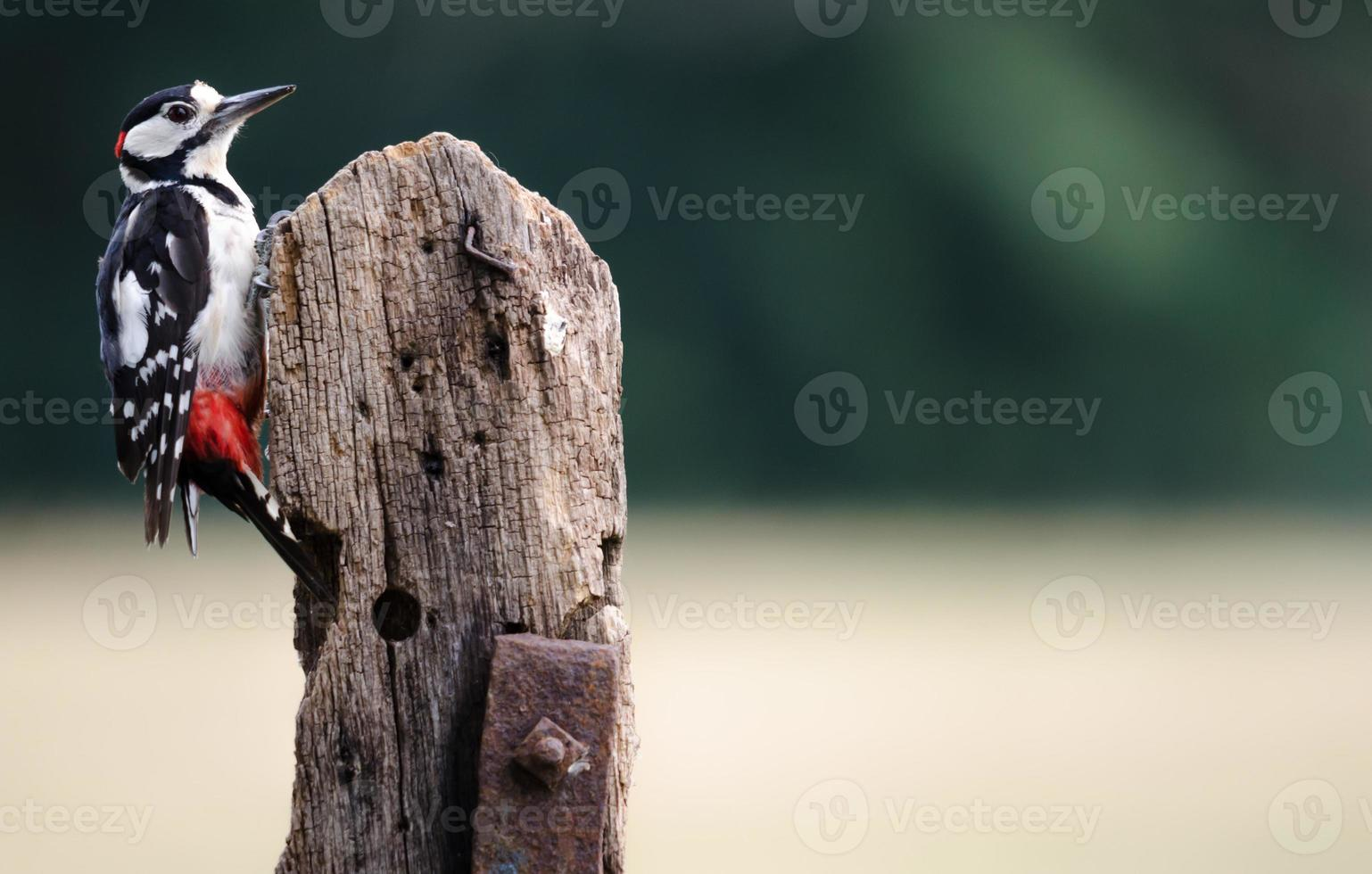 Greater Spotted Woodpecker photo