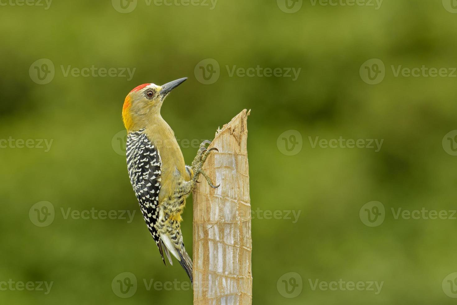 Hoffmann's Woodpecker photo