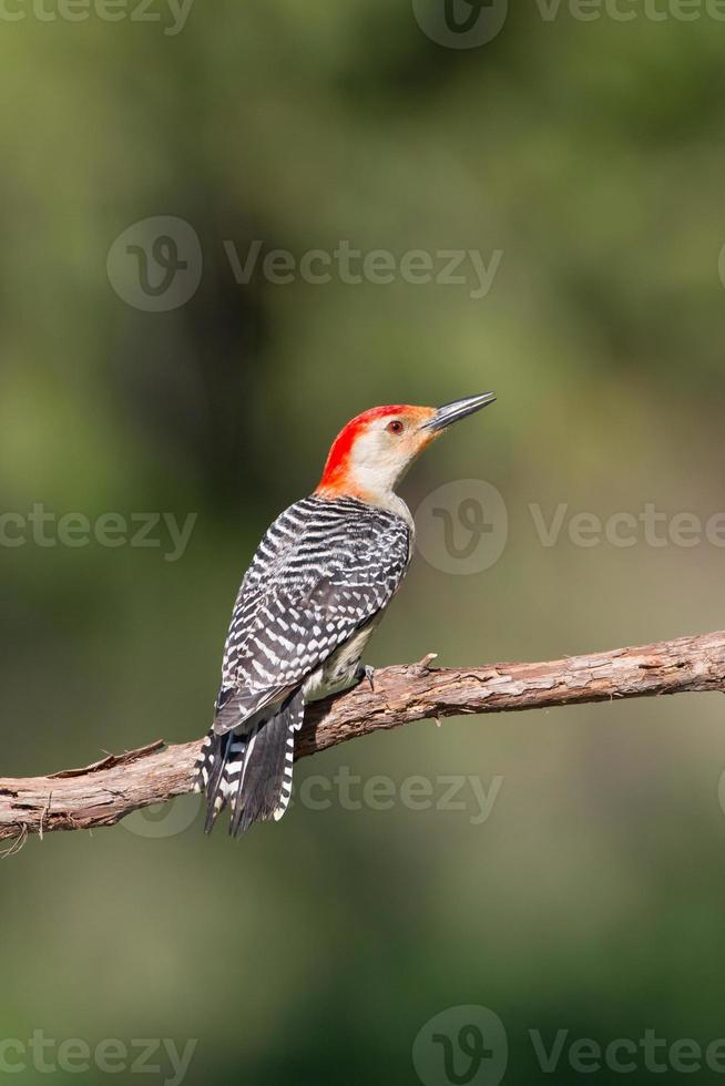 pájaro carpintero de vientre rojo foto