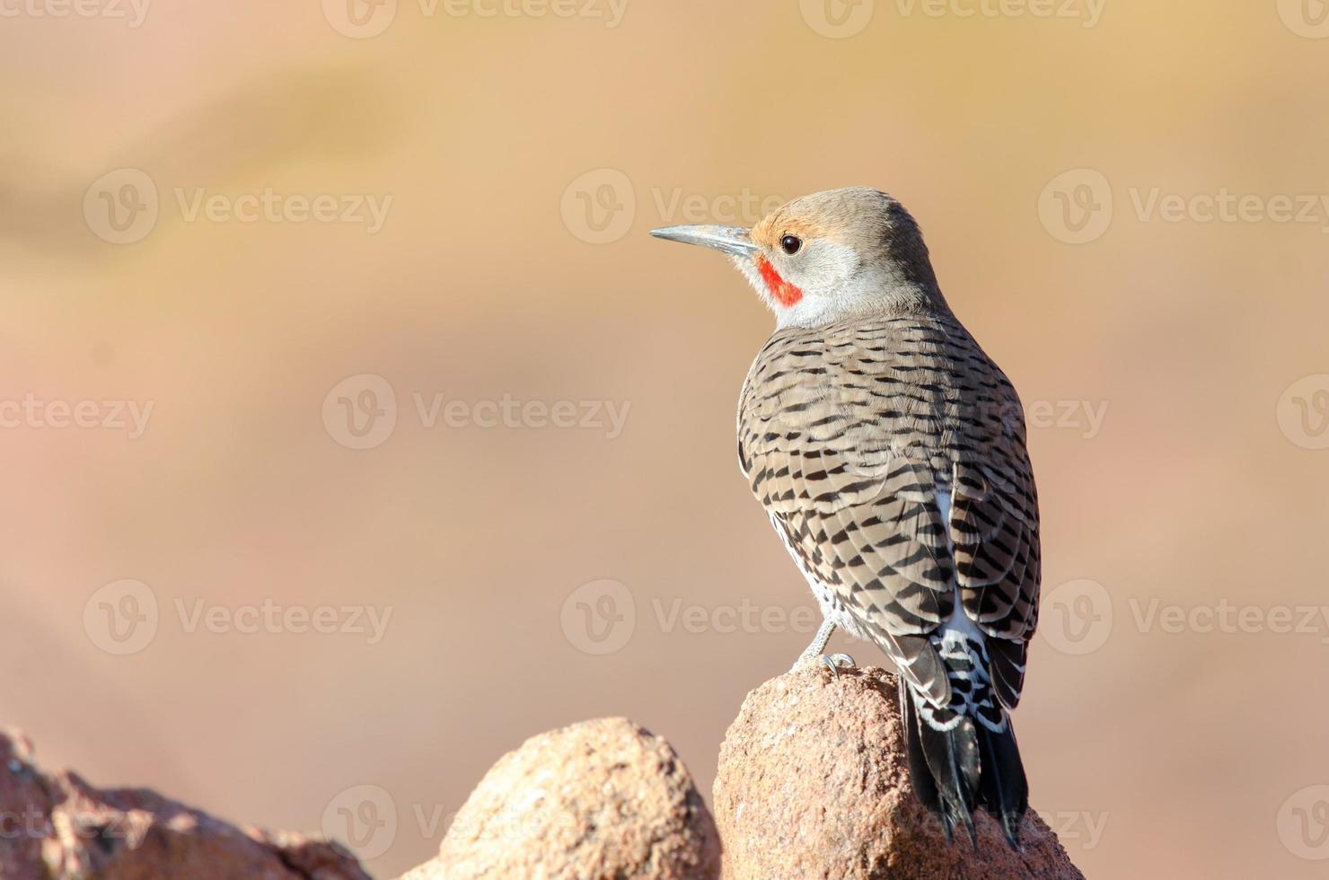 Northern Flicker (Colaptes auratus) photo