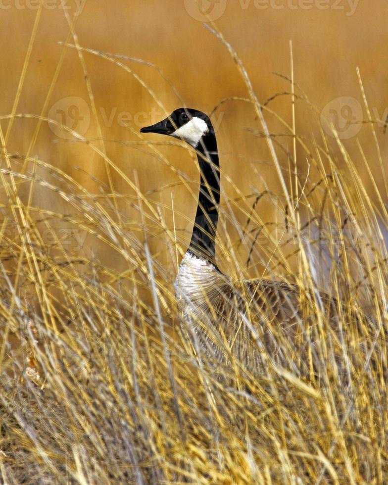 Canada Goose Broadside photo