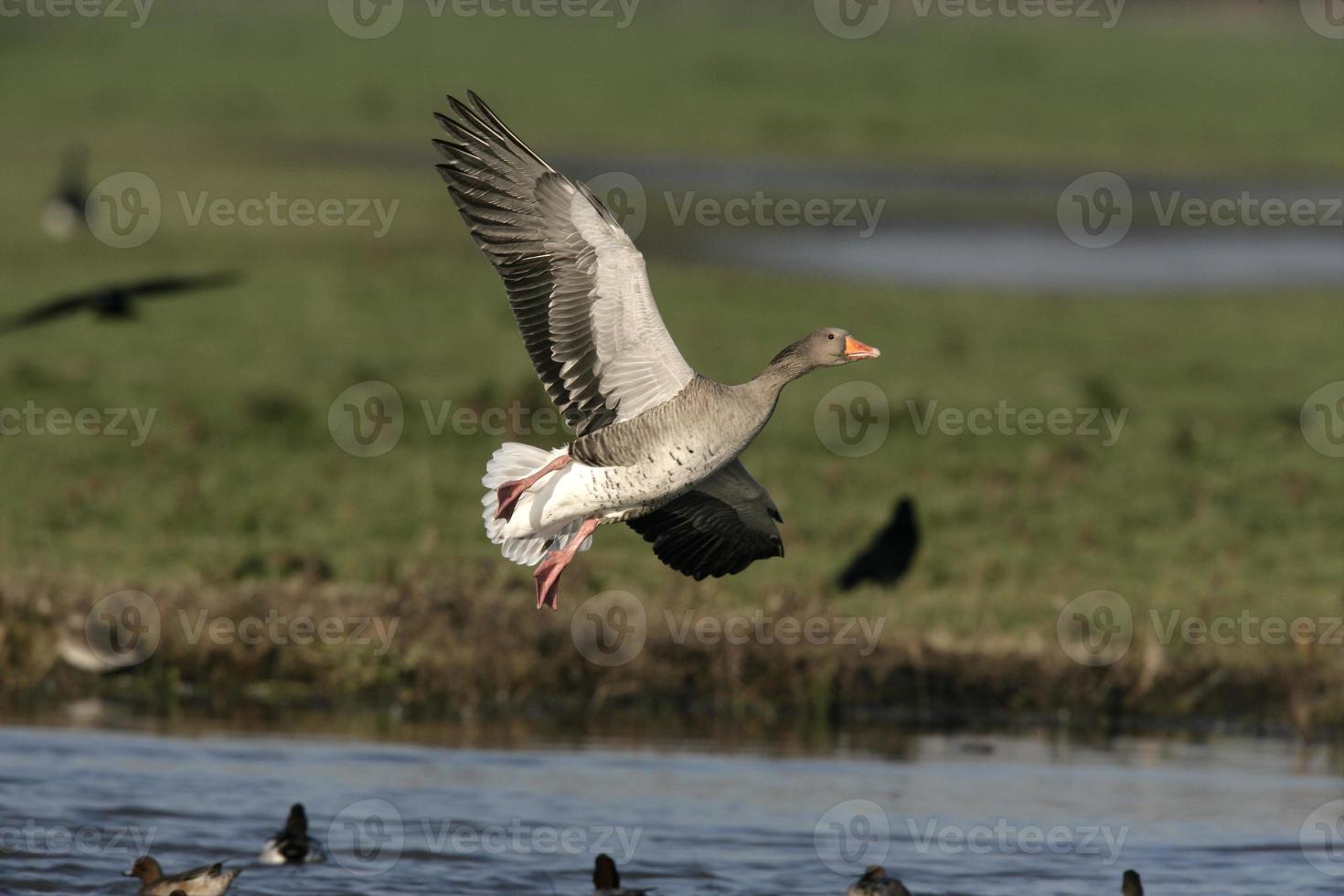 Greylag goose, Anser anserr photo