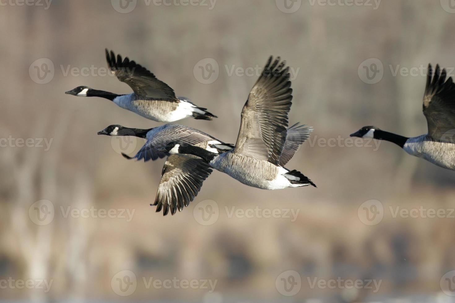 Migrating Canada Geese in Flight photo