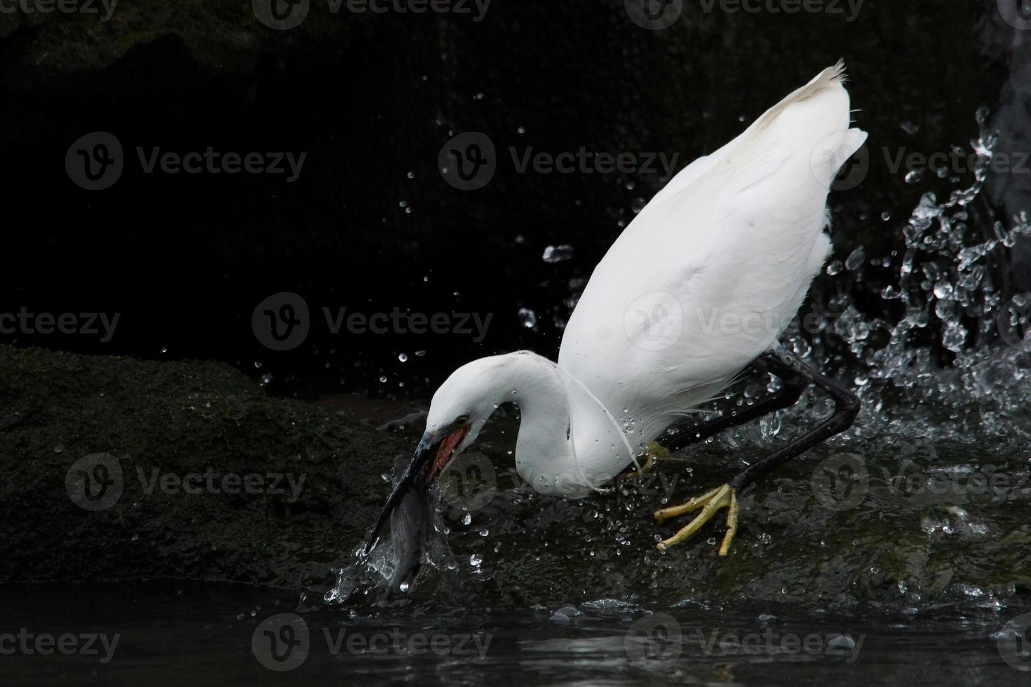 Little Egret, Snowy Egret, Egretta garzetta photo