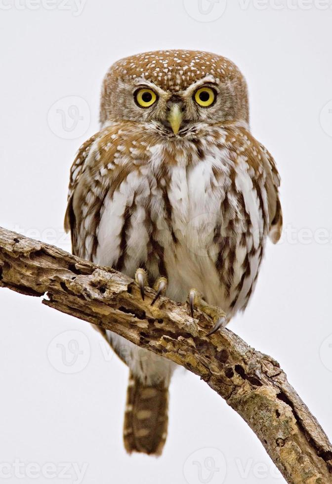 Pearlspotted Owl photo