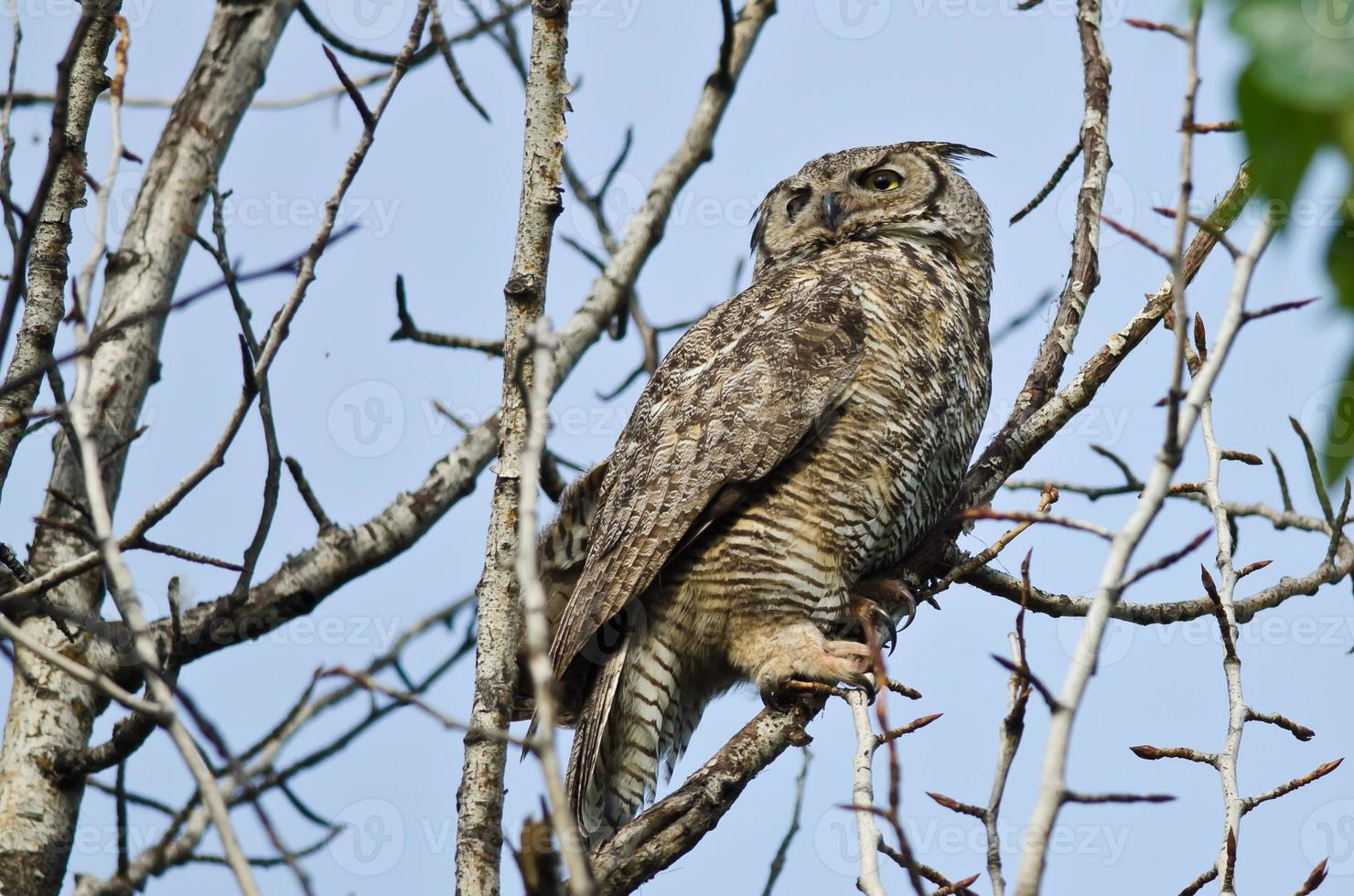 Great Horned Owl Scanning Across the Tree Tops photo