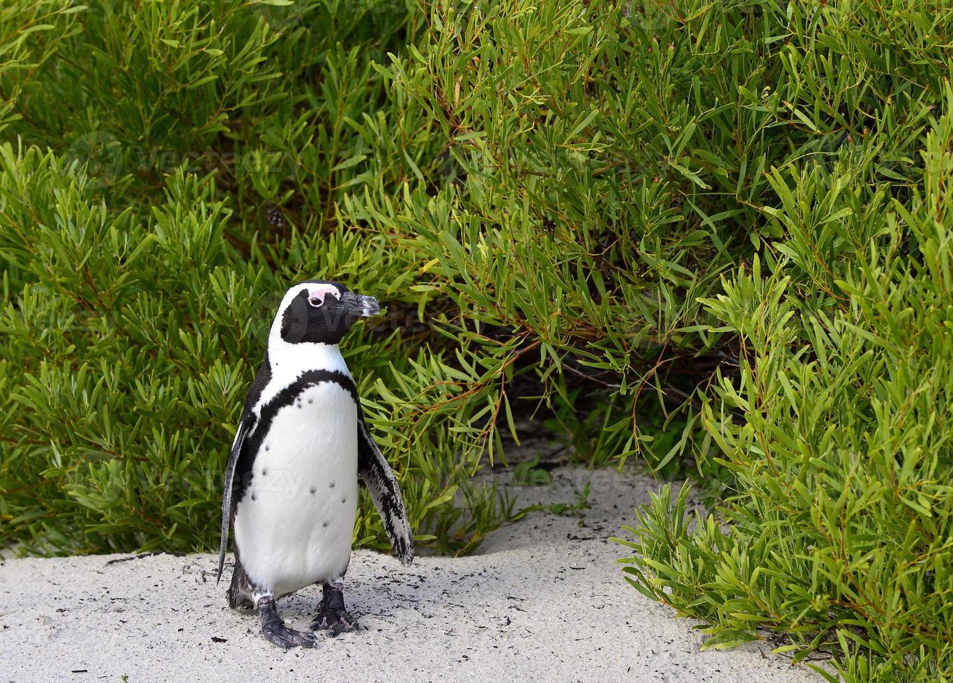 pingüino africano (spheniscus demersus) foto