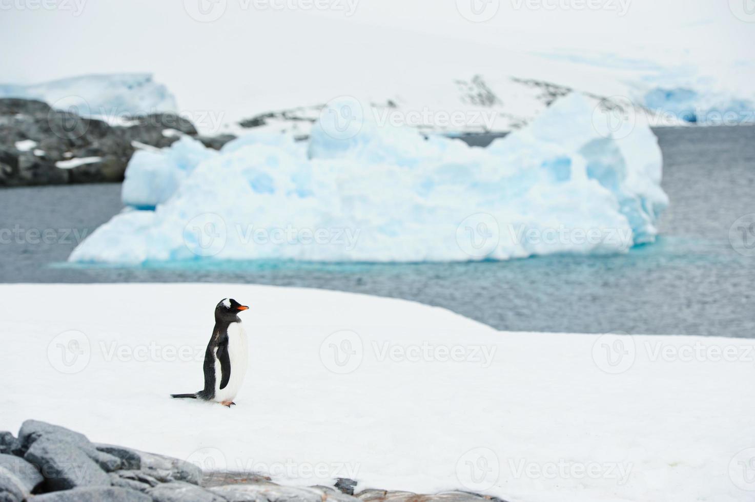 Iceberg and gentoo penguin photo