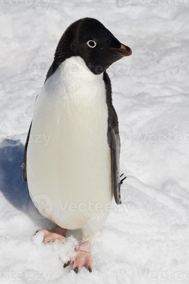 Adelie penguin who stands in the snow winter sunny day photo