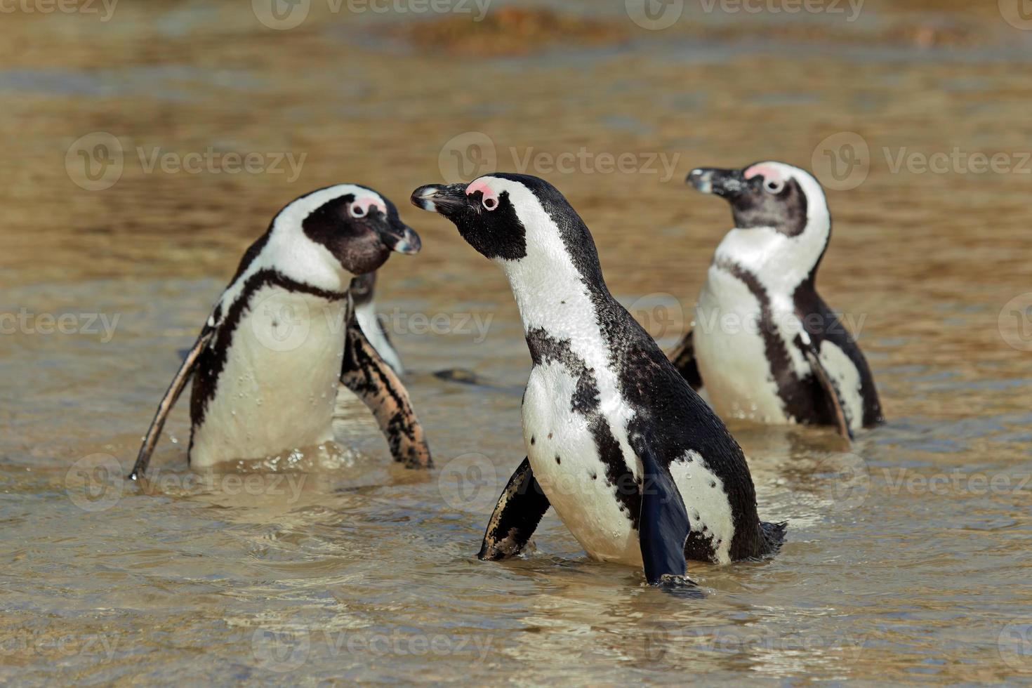 African penguins photo