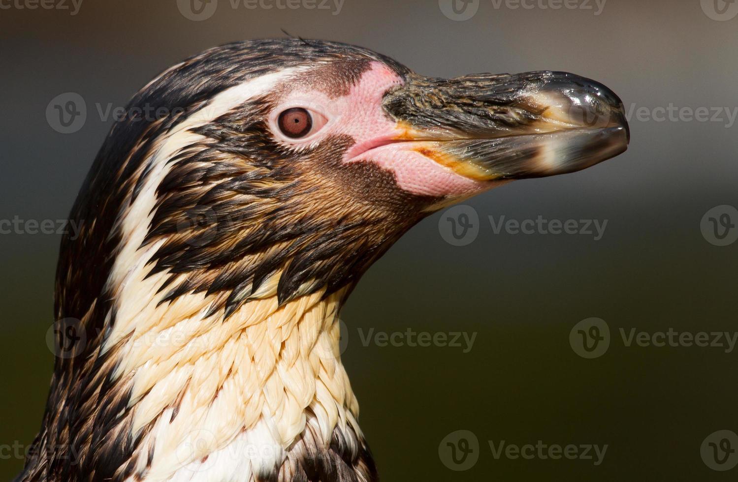 Humboldt penguin photo