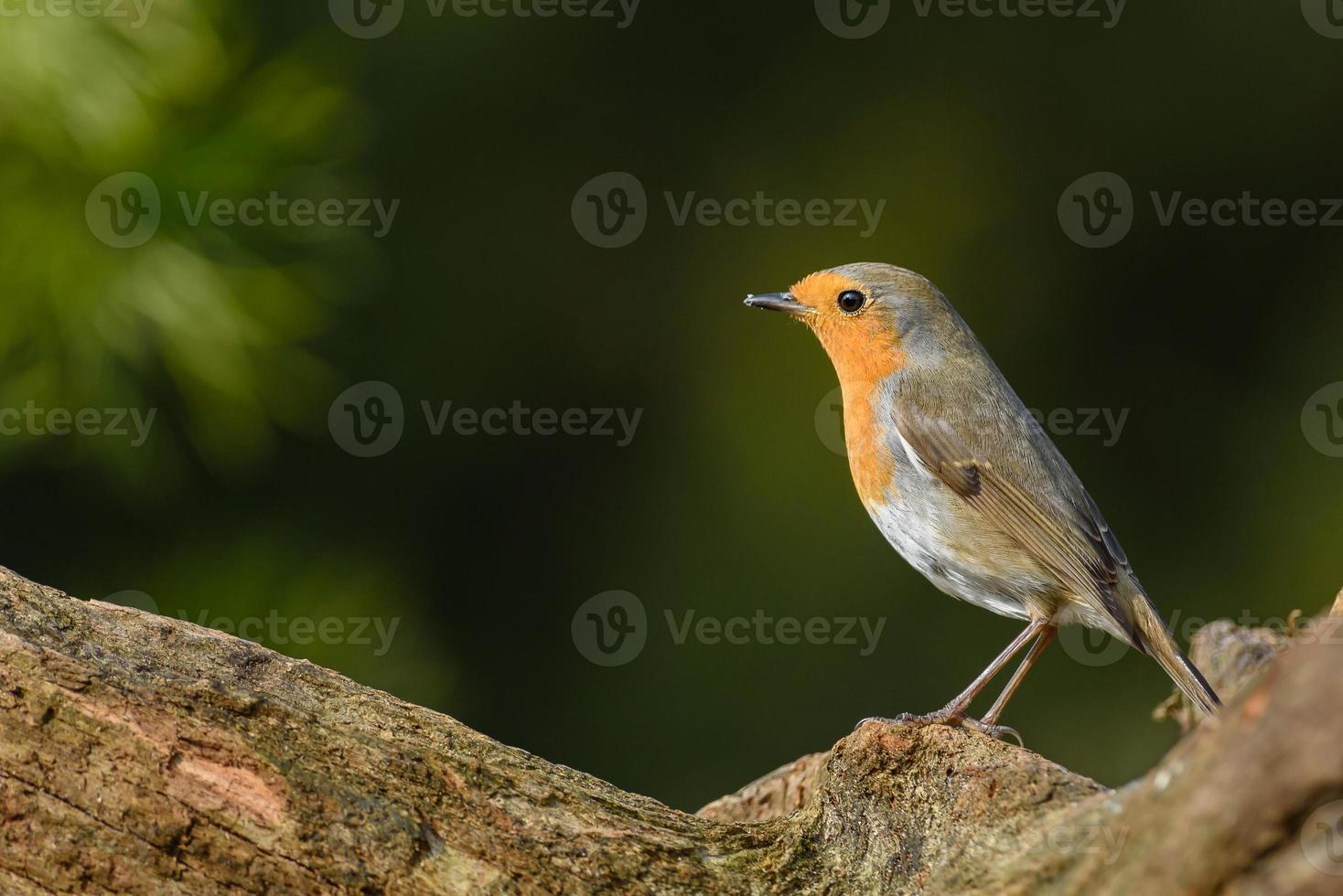 European robin (Erithacus rubecula) photo