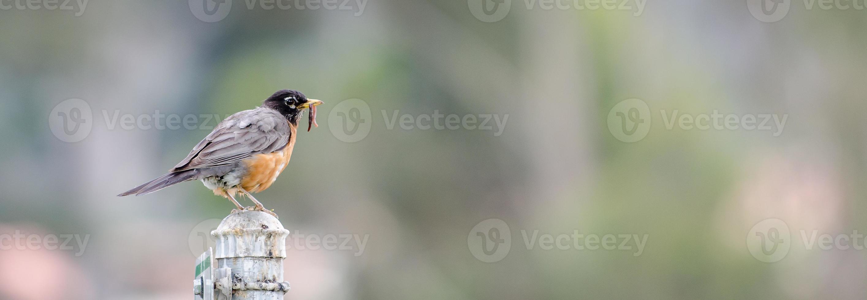 petirrojo americano con gusano foto