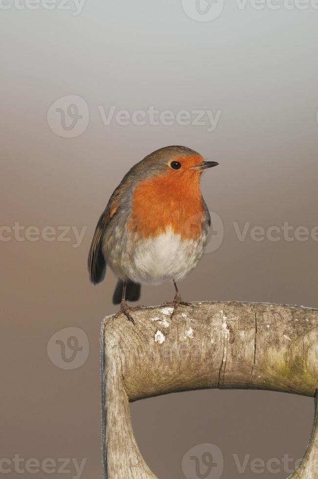 Robin (Erithacus rubecula) on Spade photo