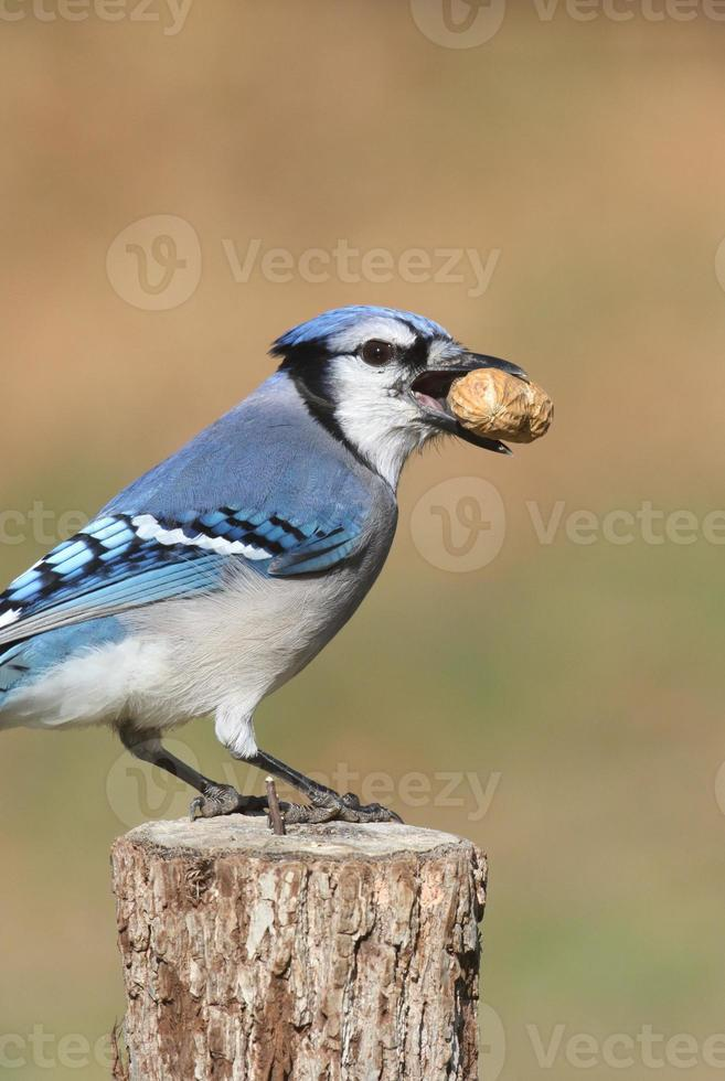 Blue Jay comiendo cacahuetes foto