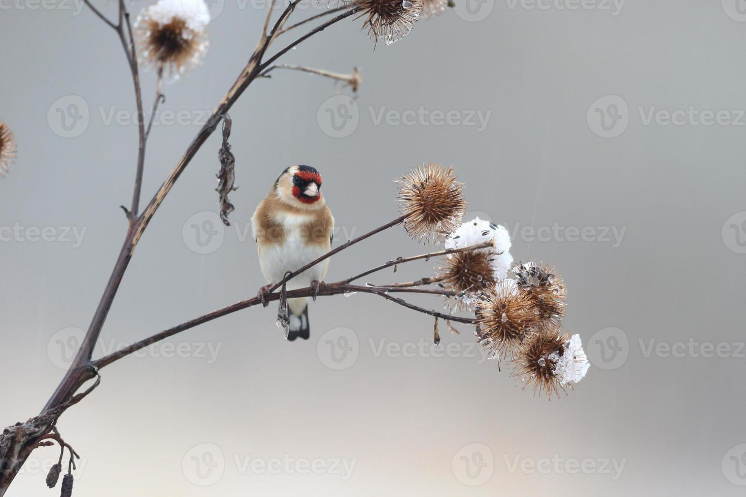 Goldfinch, Carduelis cardueliss photo
