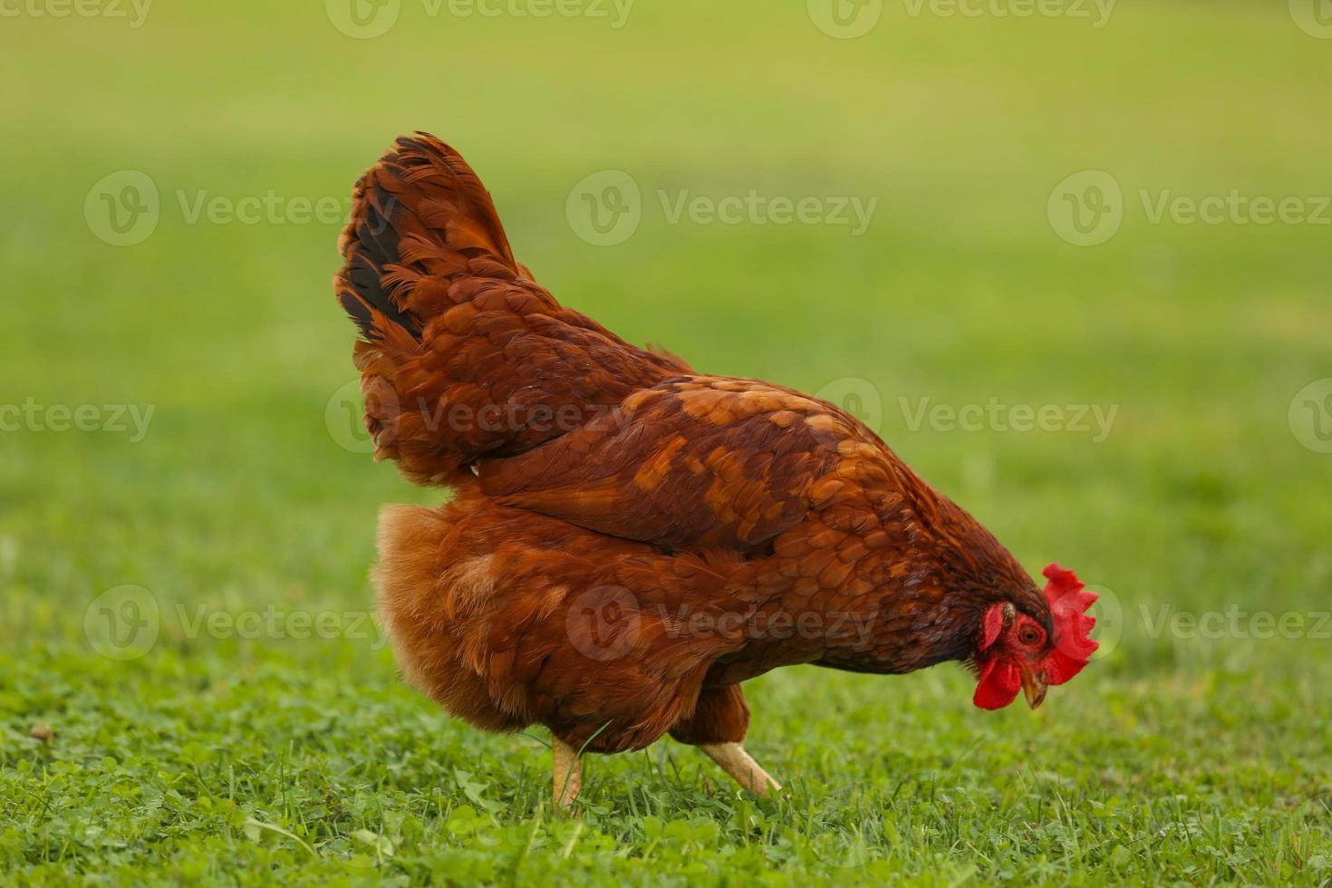 pollo caminando en la hierba foto